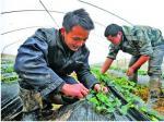 大学生不做白领当农夫 90后大胆创业借钱种草莓