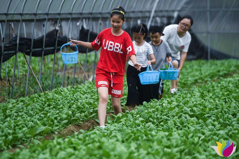 8月12日,游客在板桥镇的生态大棚内采摘有机蔬菜。
