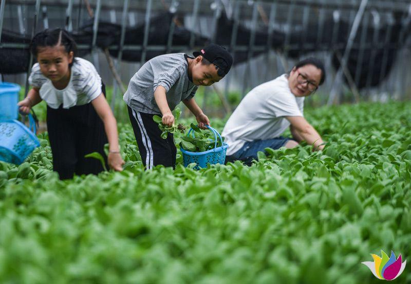 8月12日空中俯瞰板桥镇的锦兴农庄。200多亩的生态大棚位于绿色山谷之中。